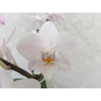 Phalaenopsis Snow Flake (3-4 Rispen)
