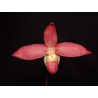 Phragmipedium Sergeant Jason