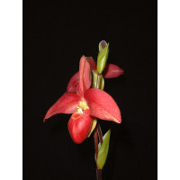 Phragmipedium Memoria Dick Clements (1 Stiel)