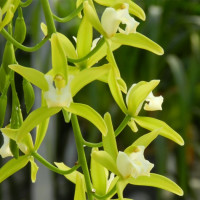 Cymbidium Pumilow