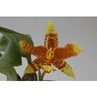 Rossioglossum insleayi