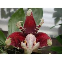 Stanhopea tigrina (Jgpfl.)