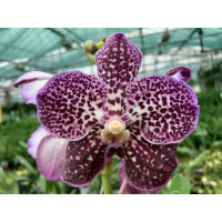 Vanda Blackberry Delight
