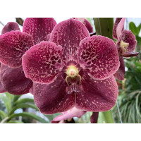 Vanda Chocolate Drop