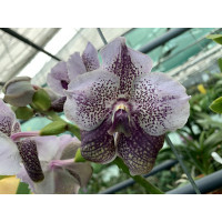 Vanda Divana Antique 'Mauve Plum'