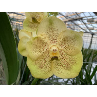 Vanda Golden Sunrise