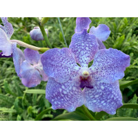 Vanda Lake Michigan