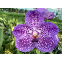 Vanda Purple Sensation