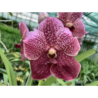 Vanda Purple Spotty
