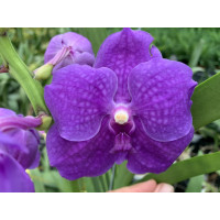 Vanda Shiny Blue