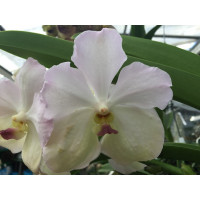 Vanda White Blues