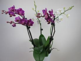 Doritaenopsis Confetti (4-5 Rispen)