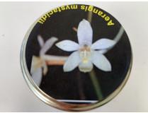 Aerangis mystacidii (im sterilen Glas)