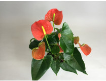 Anthurium Orange Champion