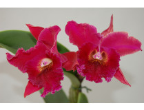 Brassolaeliocattleya Chia Lin 'New City' AM/AOS 1