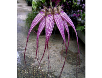 Bulbophyllum Elisabeth Ann Buckelberry 3