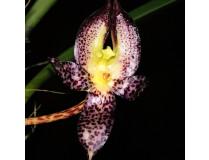 Bulbophyllum macranthum
