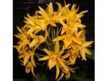Cattleya aurantiaca 'flava'