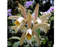 Cattleya forbesii 1