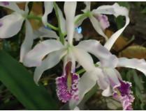 Cattleya maxima 'semi-alba'
