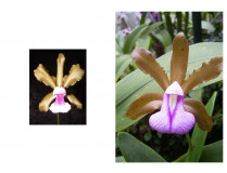Cattleya tenuis x bicolor