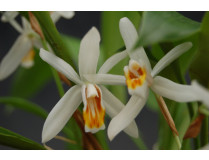Coelogyne huettneriana