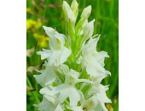 Dactylorhiza fuchsii 'alba'