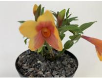 Dend. (cuthbertsonii x sulawesiense 'Orange') x cuthbertsonii
