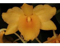 Dendrobium griffithianum