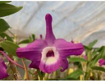 Dendrobium Nagase Mini-Purple