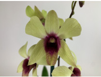 Dendrobium Sa-Nook 'Banana Chocolate'