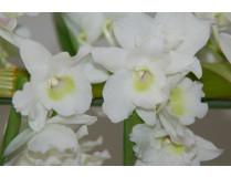 Dendrobium Spring Dream 'Apollon' 1