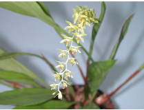 Dendrochillum cobbianum 2