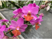 Doritaenopsis Table Mistery