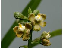 Encyclia maculosa 1