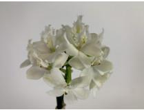 Epidendrum Ballerina 'Nordic Fire'