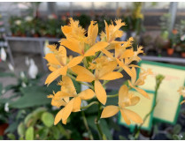 Epidendrum Ballerina 'Yellow'