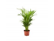Dypsis lutescens (Goldfruchtpalme) 17 cm Topf