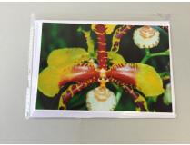 "Grußkarte ""Rossioglossum-Blüte"" (Klappkarte inkl. Umschlag)"