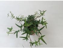 Hedera helix 'Sagittaefolia'