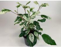 Hibiscus rosa-sinensis 'variegata'
