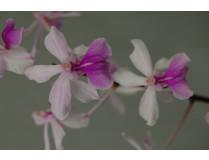 Holcoglossum amesianum 1