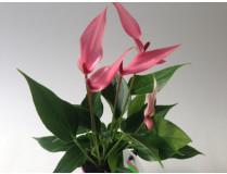 Anthurium andreanum 'Lilli'