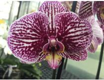Phalaenopsis Anastasia