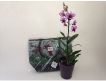 """Dendrobium """"Orchidshopper"""""""