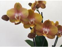 Phalaenopsis Las Vegas 'Bronze' (2 Rispen)