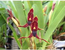 Maxillaria meleagris