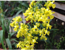 Oncidium cheirophorum 2