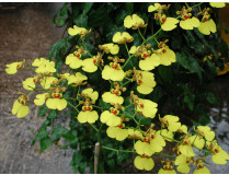 Oncidium Gower Ramsey 'Compact'