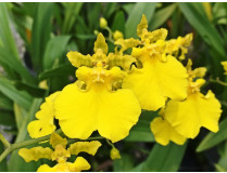 Oncidium Grower Ramsey 'Lemon Heart'